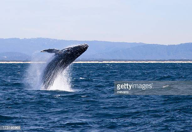 Humpback Whale mid-flight in the ocean