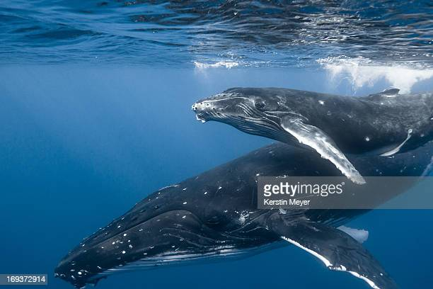 humpback whale - mother and calf