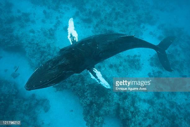 Humpback whale (Megaptera novaeangliae) overhead view, Silver Bank, Dominican Republic, Atlantic Ocean