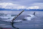 Humpback Whale Raising Pectoral Fin in Frederick Sound