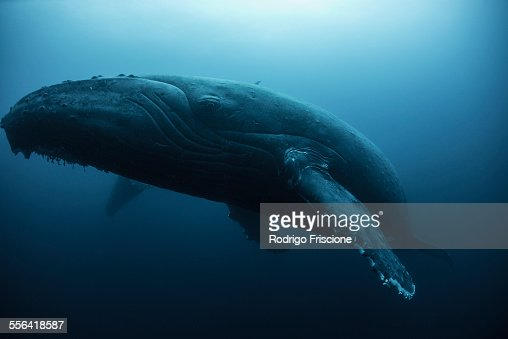 Humpback whale (Megaptera novaeangliae) resting in the deep, Roca Partida, Revillagigedo, Mexico