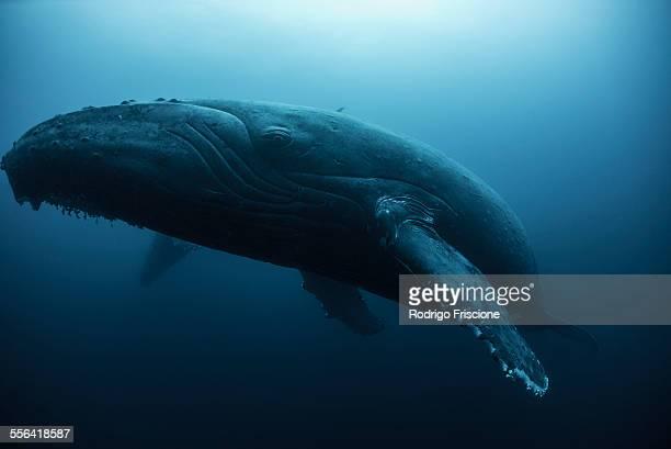 Humpback whale (Megaptera novaeangliae) resting in the deep, Roca Partida, Revillagigedo, Mexico