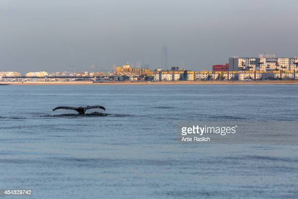 A humpback whale shows its fluke off Rockaway Beach with One World Trade Center in the background Octoebr 3 2013 in the Rockaway Beach neighborhood...