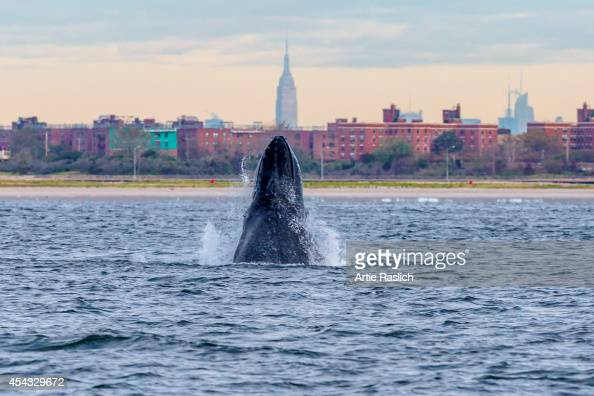 A humpback whale spyhops off Rockaway Peninsula with the Empire State Building in the background September 23 2013 in the Rockaway Beach neighborhood...
