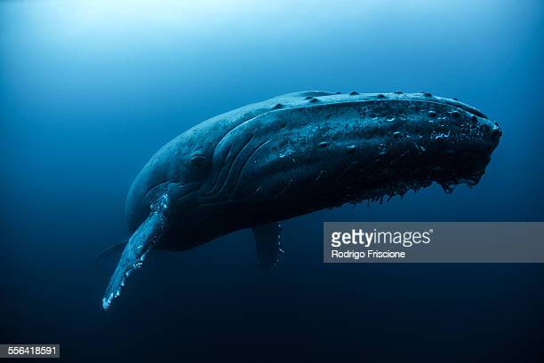Humpback whale (Megaptera novaeangliae) swimming in the deep, Roca Partida, Revillagigedo, Mexico