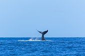 Humpback whale swimming in the Pacific Ocean, tail of the whale diving