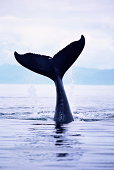 Humpback whale (Megaptera novaeangliae) tail above water