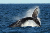 A humpback whale tail breaches off Sydney Heads at the beginning of whale watching season during a Manly Whale Watching tour on June 23 2011 in...