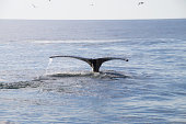 Humpback whale tail in sunset
