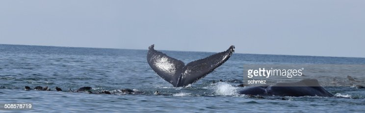 Humpback Whale Tail : Stock Photo
