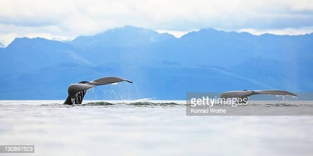 Humpback Whales diving, flukes (Megaptera novaeangliae), Baleen Whales, Alaska's Inside Passage, Alaska, USA