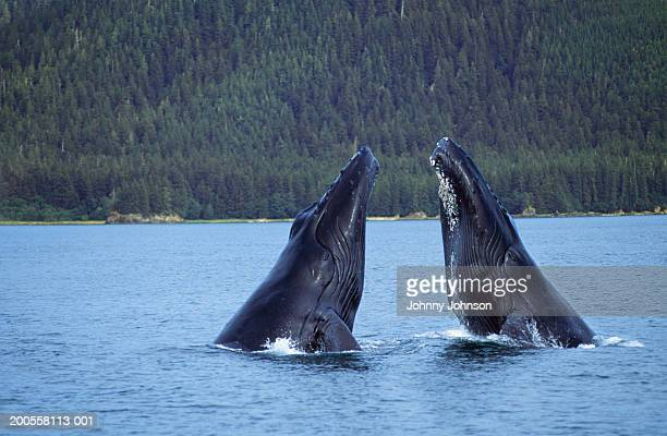 Humpback whales (Megaptera novaeangliae) exhibiting spyhop behavior