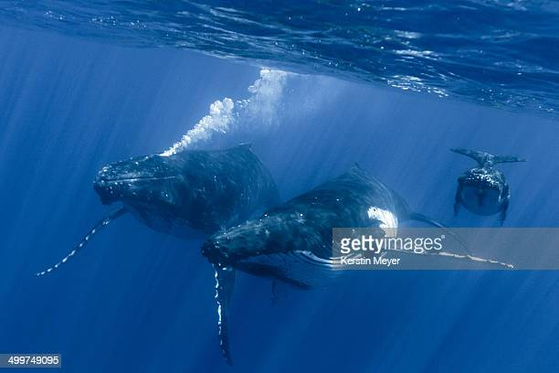 Humpback whales - mother, calf and escort