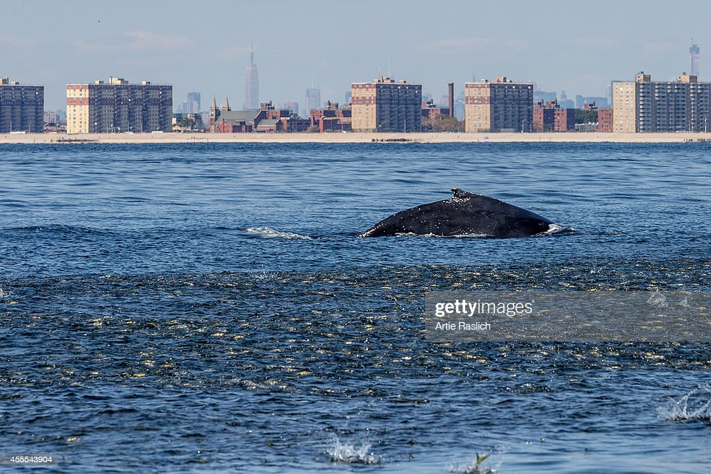 Humpback whales setting up its next lunge feeding on a school of Bunker off NYC's Rockaway Peninsula with Mid Town Manhattan in the background on...