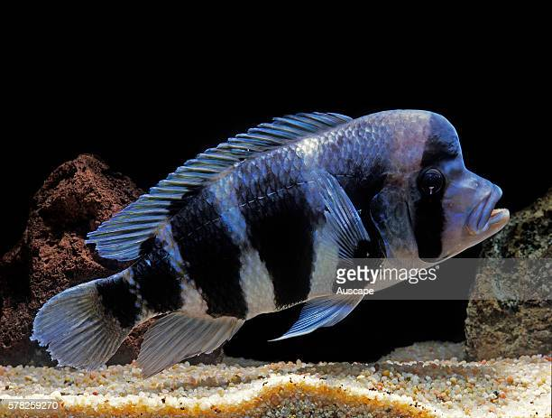 Humphead cichlid Cyphotilapia frontosa freshwater commercial aquarium fish that can grow to 33 cm Endemic to Lake Tangyanika East Africa