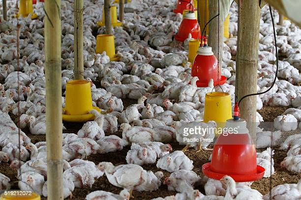 Hundred of chickens are seen in a chicken farm Ministry of Public Health instructed government agencies to watch for any signs of bird flu during the...