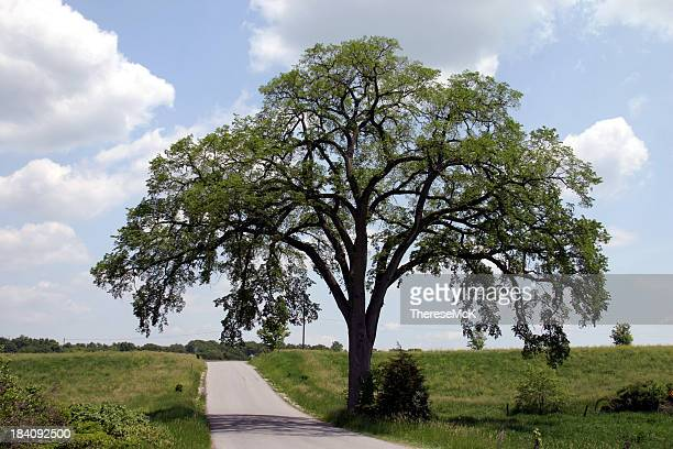 Hundred Year Old Elm Against Blue Sky