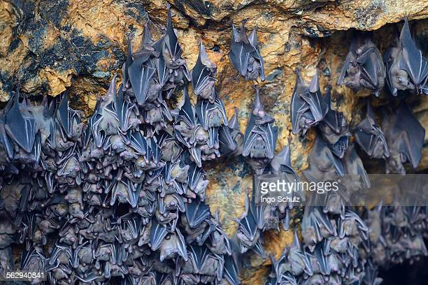 Hundreds of bats in a cave above the altar, Temple of the Bats or Goa Lawah, Bali, Indonesia