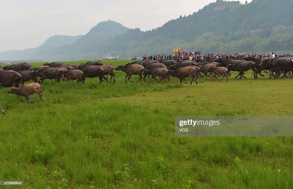 Hundreds of cattle prepare to cross the river during the opening ceremony of the 7th Jialing River Grazing Cattle Festival in Peng'an County on April 29, 2016 in Nanchong, Sichuan Province of China. As an ecological spectacle, the crazing cattle festival is to be held the seventh time that tourists will enjoy a grand feast in festival which will run until the end of October.