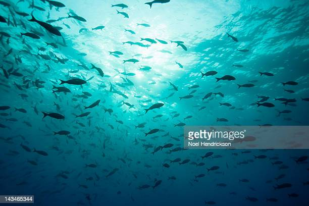 Hundreds of fish in the turquoise ocean