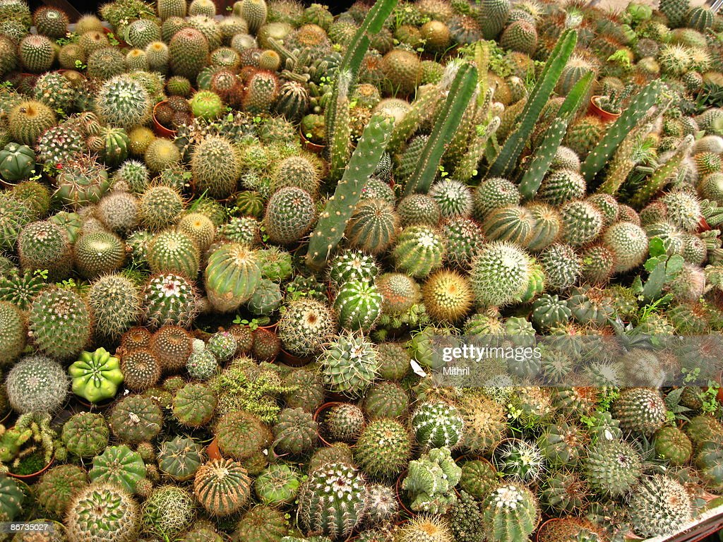 Hundreds of pots of cactus cacti for sale stock photo Cactus pots for sale