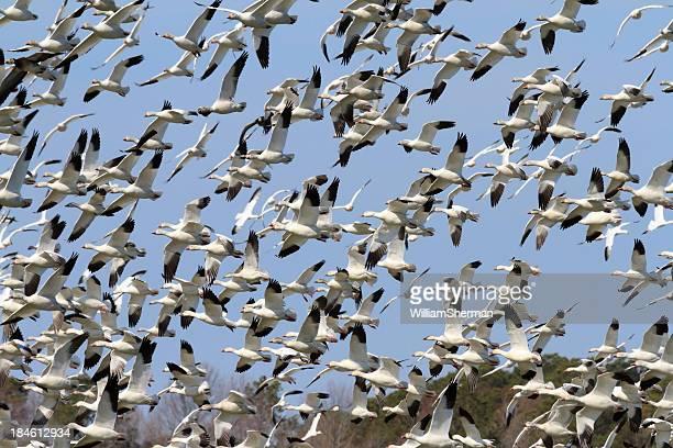 Hunderte von Schnee Gänse (Chen caerulescens), Flug