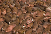Hundreds of male walruses (Odobenus rosmarus) sunbathing together on the beaches of Round Island, Walrus Islands State Game Sanctuary in Bristol Bay, Alaska, USA.