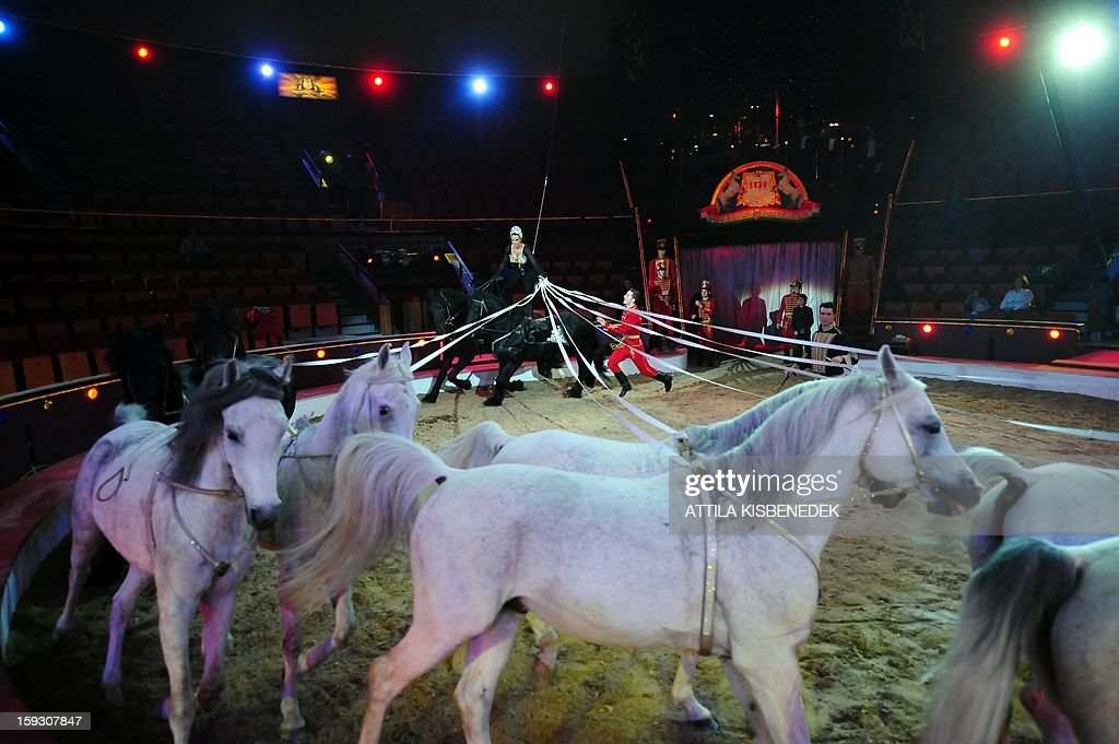 Hungarian animal trainer Edith Richter leads her horses as they perform on circus floor in Budapest on January 11, 2013 during a rehearsal of a new production, title the 'Hungarian circus stars'. The premiere will be held on January 12.