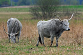 Hungarian Grey Cattle / Hungarian Steppe Cattle Hansag Hungary