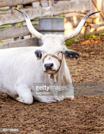 Hungarian grey cattle : Stock Photo