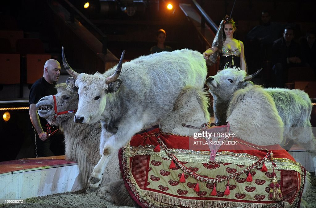 Hungarian grey cattles jump over a camel on circus floor of the Grand Circus of Budapest in Budapest on January 11, 2013 during a rehearsal of a new production, title the 'Hungarian circus stars'. The premiere will be held on January 12.