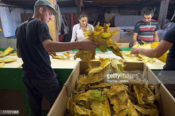 Hungarian guestworkers sort tobacco leaves at Guido Hoerner's tobaccofarm on August 22 2013 in Ottersheim Germany 50 tobaccofarmer are still in...