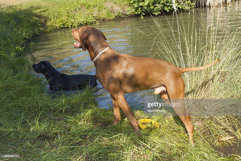 Húngaro Cão de caça (Viszla) de pé de chuva no lago. : Foto de stock