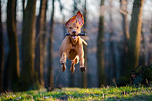 photo of flaying hungarian pointer hound dog