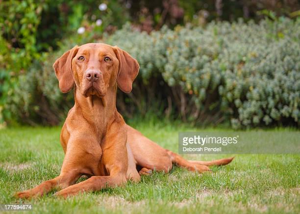 Hungarian Vizsla dog in garden