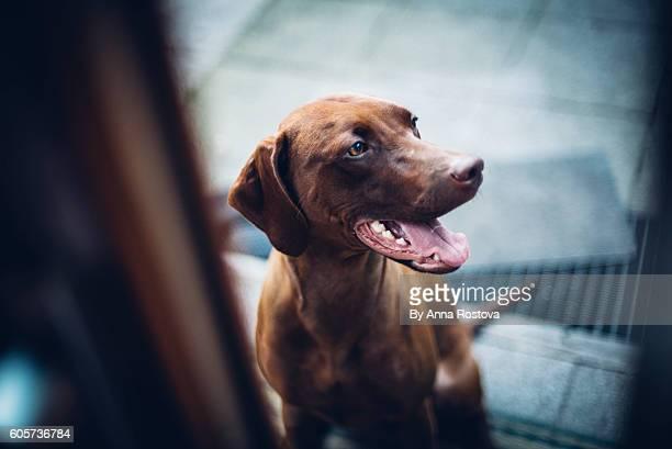 Hungarian vizsla dog sitting at glass door looking inside