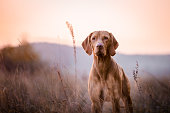 photo of cute Hungarian vizsla dog head portrait