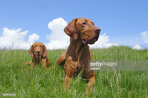 Hungarian Vizsla pointer dog and her puppy