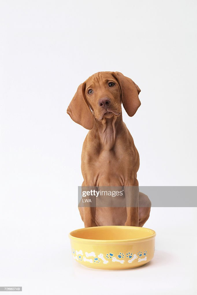 'Hungarian Vizsla puppy sitting by empty food bowl, close-up' : Stock Photo