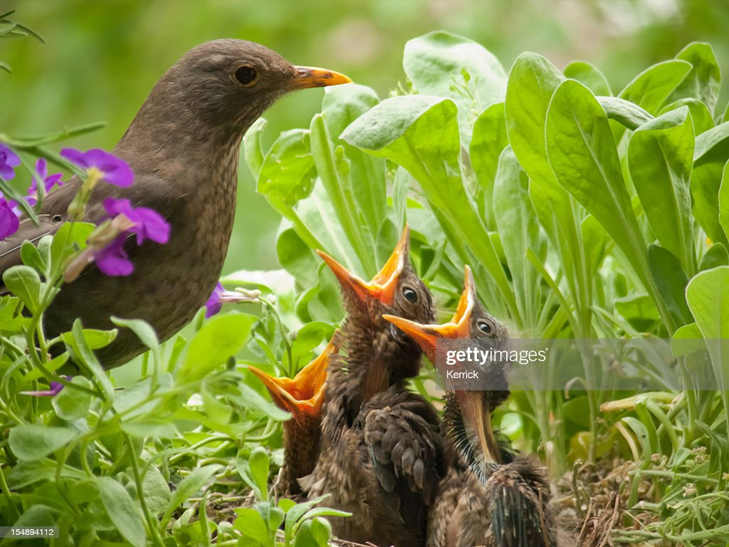 hungry blackbird babys - 10 days old