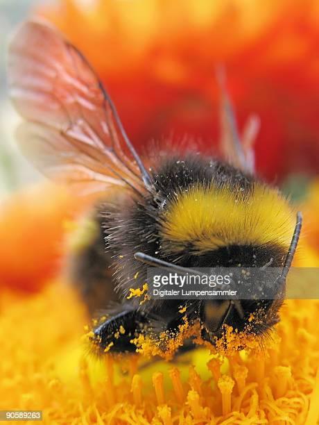 Hungry Bumblebee