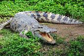 A fresh water crocodile on land.