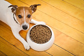 hungry  jack russell  dog behind food bowl   isolated wood background at home and kitchen
