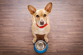 hungry  chihuahua dog behind empty  bowl, isolated wood background at home and kitchen looking up  to owner and begging for food