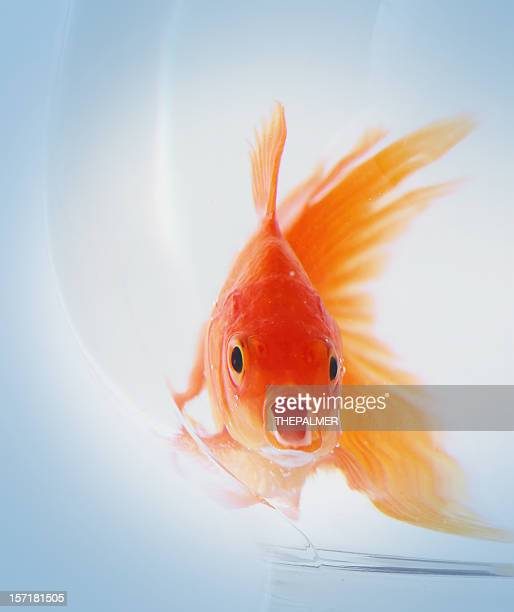 hungry goldfish