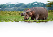 Hippo grazing on the edge of Lake Naivasha, Kenya.