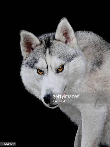 Hungry Menacing Wolf