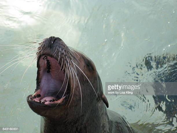 Hungry seal barking for fish