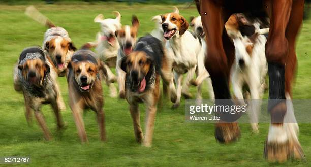 Hunt dogs take a run after the show jumping event on day four of The Land Rover Burghley Horse Trials on September 7 2008 in Stamford United Kingdom