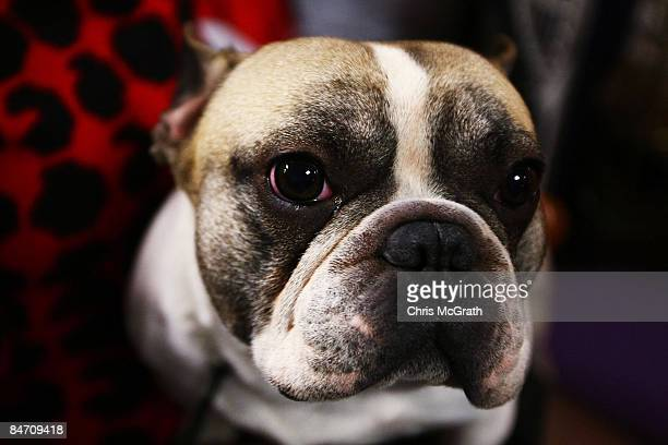 ' Hunter ' a French Bulldog during the 133rd Annual Westminster Kennel Club Dog Show at Madison Square Garden February 9 2009 in New York City The...